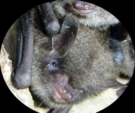 Brown nose bat